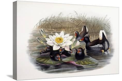 Gallinula Chloropus-John Gould-Stretched Canvas Print
