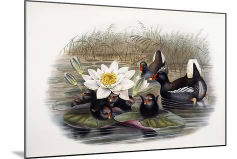 Gallinula Chloropus-John Gould-Mounted Giclee Print