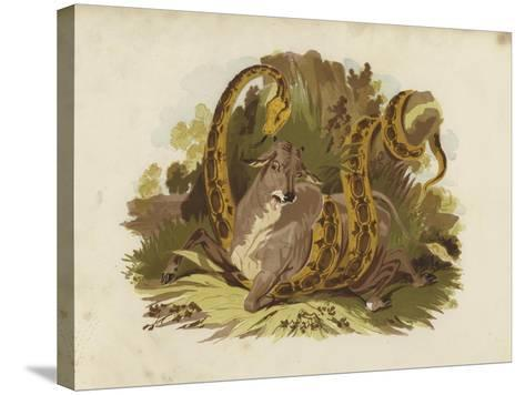 Cow Being Squeezed by Serpent--Stretched Canvas Print