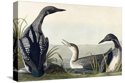 Black-Throated Diver-John James Audubon-Stretched Canvas Print