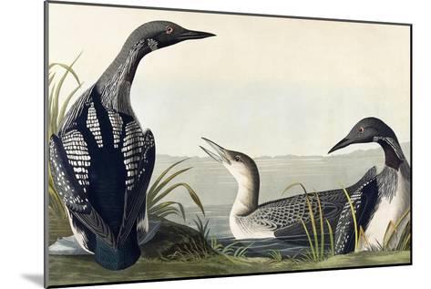 Black-Throated Diver-John James Audubon-Mounted Giclee Print