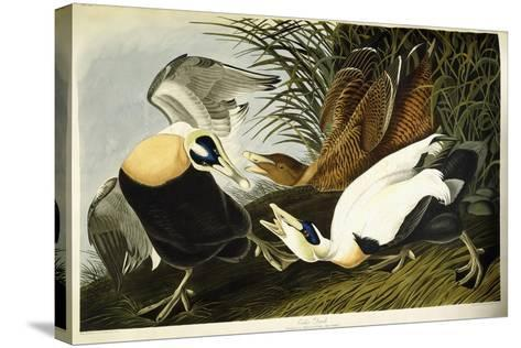 Eider Duck, Male and Female, 1835-John James Audubon-Stretched Canvas Print