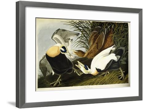 Eider Duck, Male and Female, 1835-John James Audubon-Framed Art Print