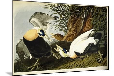 Eider Duck, Male and Female, 1835-John James Audubon-Mounted Giclee Print