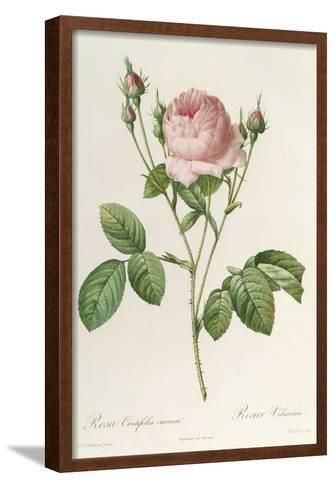 Rosa Centifolia Carnea, From'Les Roses', 19th Century-Pierre-Joseph Redout?-Framed Art Print
