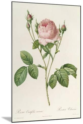 Rosa Centifolia Carnea, From'Les Roses', 19th Century-Pierre-Joseph Redout?-Mounted Giclee Print