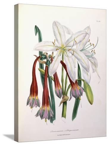 1. Crinum Arenarium and 2. Cobergia Incarnata, 1840-1844--Stretched Canvas Print