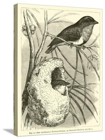 The Australian Flower-Pecker, or Swallow Dicaeum, and Nest--Stretched Canvas Print