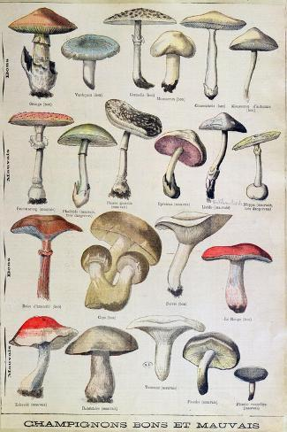 Botanical Plate Depicting 'Good and Bad Mushrooms', C.1900--Stretched Canvas Print