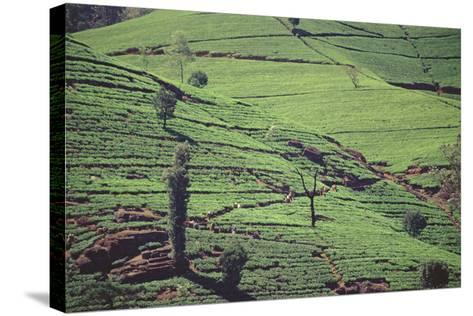 Terraces of Tea at Labookellie High-Grown Tea Factory--Stretched Canvas Print