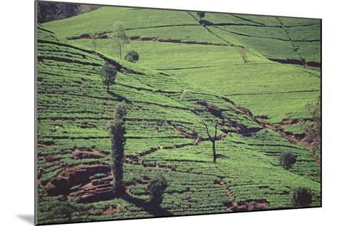 Terraces of Tea at Labookellie High-Grown Tea Factory--Mounted Photographic Print