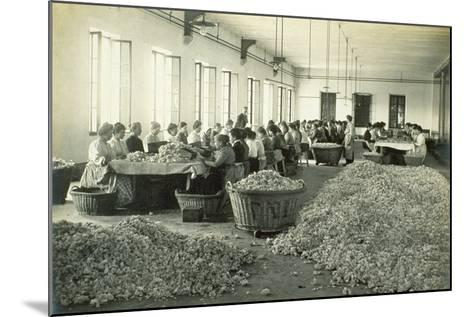 Sorting Roses, from 'Industrie Des Parfums a Grasse', C.1900--Mounted Photographic Print