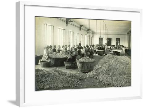 Sorting Roses, from 'Industrie Des Parfums a Grasse', C.1900--Framed Art Print
