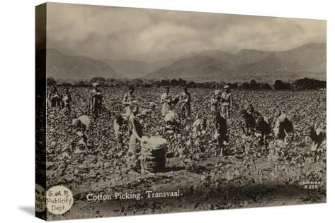 Postcard Depicting Cotton Picking in the Transvaal--Stretched Canvas Print