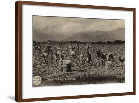 Postcard Depicting Cotton Picking in the Transvaal--Framed Art Print