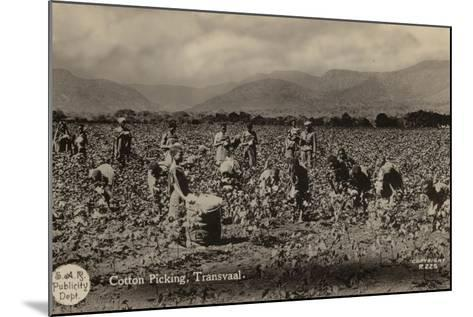 Postcard Depicting Cotton Picking in the Transvaal--Mounted Photographic Print