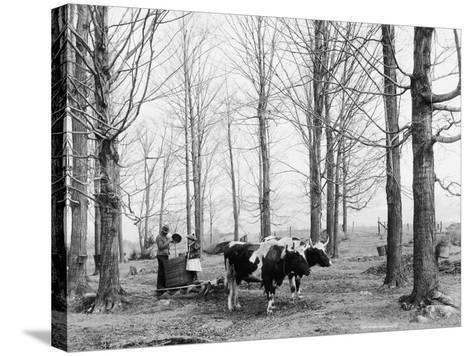 Bringing in the Sap in a Maple Sugar Camp, C.1900-06--Stretched Canvas Print