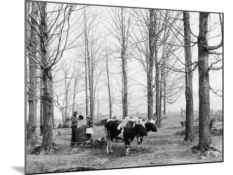 Bringing in the Sap in a Maple Sugar Camp, C.1900-06--Mounted Photographic Print