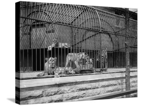 The Lions and Tigers in Lincoln Park, Chicago, C.1901--Stretched Canvas Print