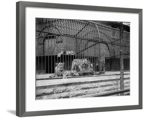 The Lions and Tigers in Lincoln Park, Chicago, C.1901--Framed Art Print