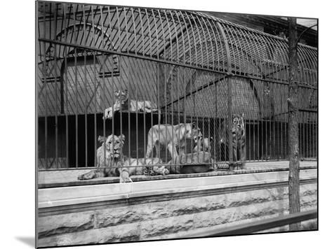The Lions and Tigers in Lincoln Park, Chicago, C.1901--Mounted Photographic Print