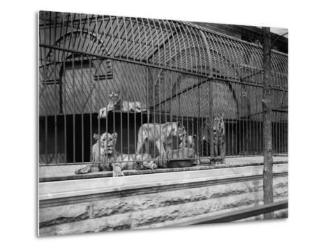 The Lions and Tigers in Lincoln Park, Chicago, C.1901--Metal Print