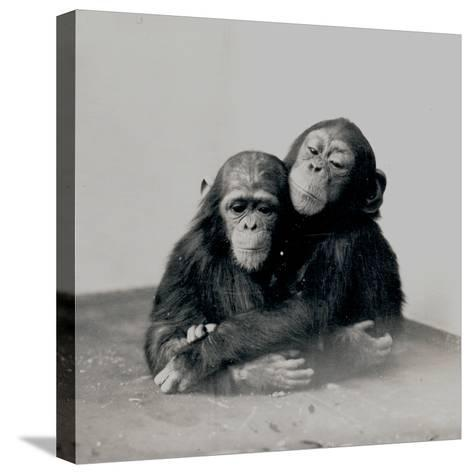 Johnnie and a Friend, Two of ZSL London Zoo's Chimpanzees, 1923-Frederick William Bond-Stretched Canvas Print