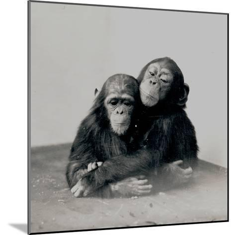 Johnnie and a Friend, Two of ZSL London Zoo's Chimpanzees, 1923-Frederick William Bond-Mounted Photographic Print