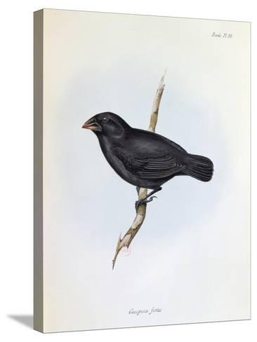 Geospiza Fortis, Illustration from 'The Zoology of the Voyage of H.M.S. Beagle, 1832-36-Charles Darwin-Stretched Canvas Print