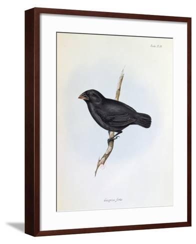 Geospiza Fortis, Illustration from 'The Zoology of the Voyage of H.M.S. Beagle, 1832-36-Charles Darwin-Framed Art Print