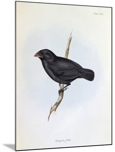 Geospiza Fortis, Illustration from 'The Zoology of the Voyage of H.M.S. Beagle, 1832-36-Charles Darwin-Mounted Giclee Print