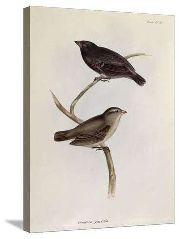 Pair of Geospiza Parvula, Illustration from 'The Zoology of the Voyage of H.M.S. Beagle, 1832-36-Charles Darwin-Stretched Canvas Print