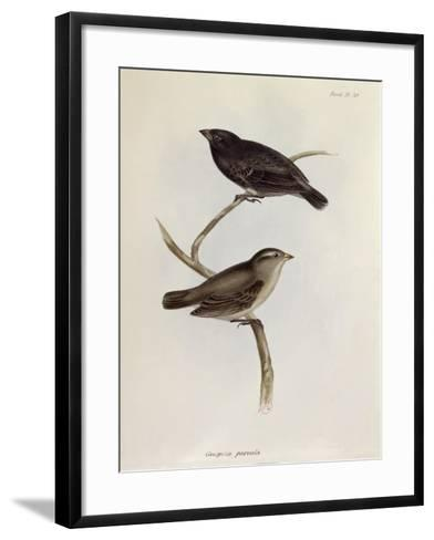 Pair of Geospiza Parvula, Illustration from 'The Zoology of the Voyage of H.M.S. Beagle, 1832-36-Charles Darwin-Framed Art Print