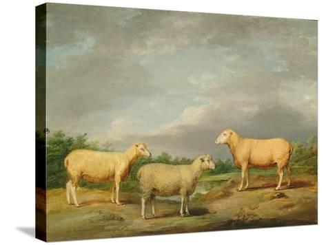Ryelands Sheep, the King's Ram, the King's Ewe and Lord Somerville's Wether, C.1801-07-James Ward-Stretched Canvas Print