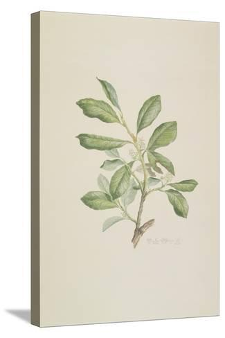 "Heberdenia Banamensis: Plate 395 from ""Banks' Florilegium""--Stretched Canvas Print"