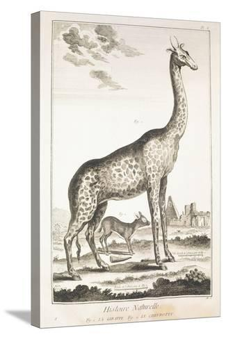 Plate Showing Giraffe and Musk Deer--Stretched Canvas Print