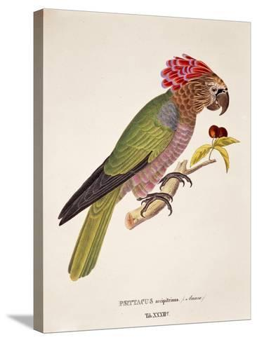 Psittacus Accipitrinus--Stretched Canvas Print