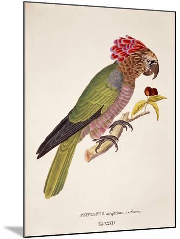 Psittacus Accipitrinus--Mounted Giclee Print