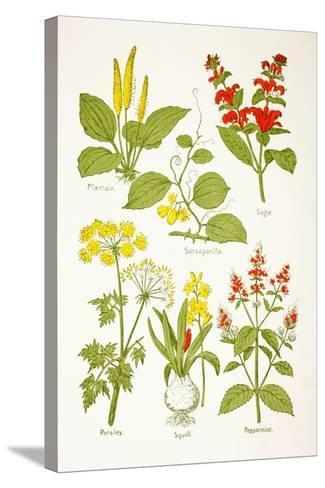 Medicinal Herbs and Plants, from 'Virtue's Household Physician', Published in 1924--Stretched Canvas Print