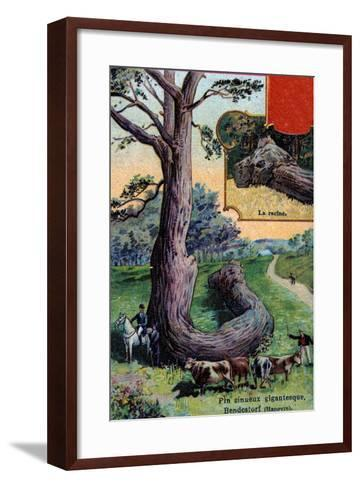 Giant Sinuous Pine Tree and its Root, at Bendestorf, Near Hanover, Germany, 1901--Framed Art Print