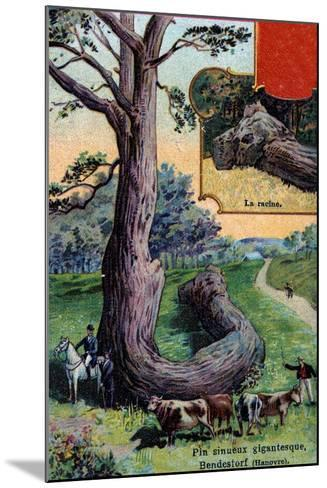 Giant Sinuous Pine Tree and its Root, at Bendestorf, Near Hanover, Germany, 1901--Mounted Giclee Print