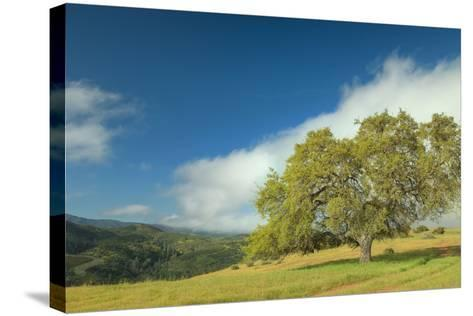 Oak Tree and Central Valley Hills, California-Vincent James-Stretched Canvas Print