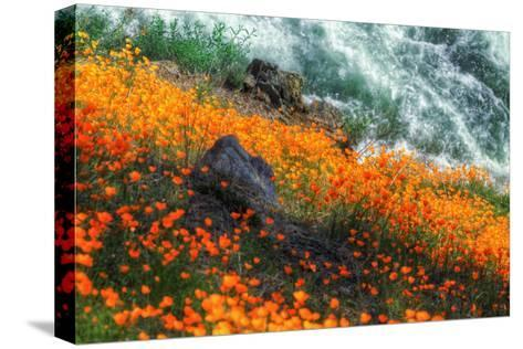 Poppies by the Merced River, Merced River Canyon-Vincent James-Stretched Canvas Print