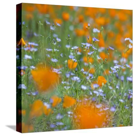 Poppy Flower Mix-Vincent James-Stretched Canvas Print