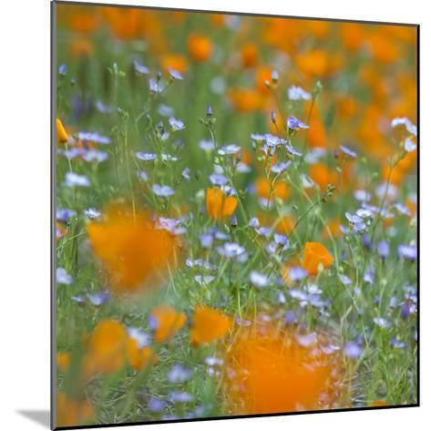 Poppy Flower Mix-Vincent James-Mounted Photographic Print