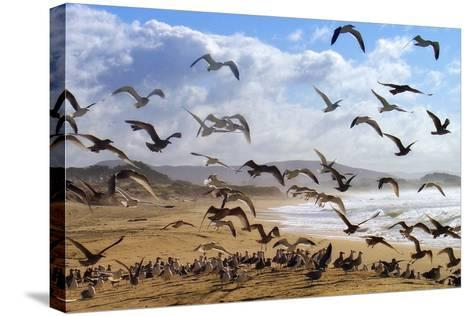 Beach Birds, Half Moon Bay, California Coast-Vincent James-Stretched Canvas Print