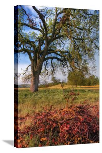 Spring Oak Scene, Central Valley, California-Vincent James-Stretched Canvas Print