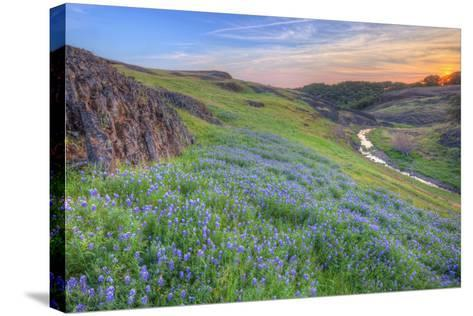 Wildflower Hillside at Sunset, Table Mountain-Vincent James-Stretched Canvas Print