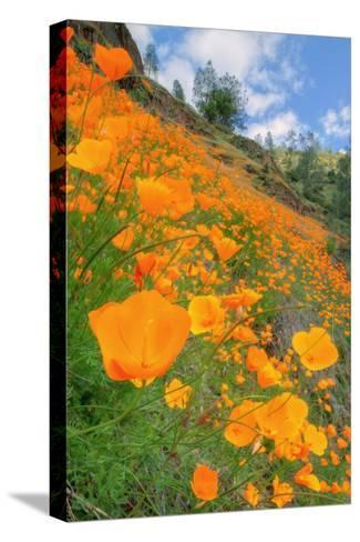 Grand Poppy Landscape Revisited, Merced Canyon-Vincent James-Stretched Canvas Print