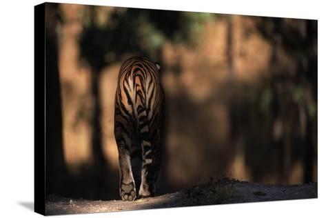 Rear View of Male Bengal Tiger Walking {Panthera Tigris Tigris} Kanha Np, India-Nick Garbutt-Stretched Canvas Print